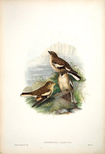 Adams' Mountain Finch