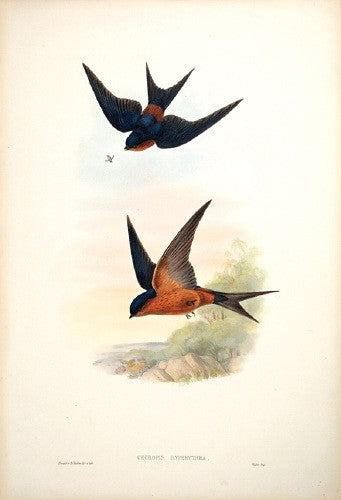 Ceylonese Mosque Swallow