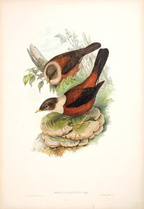 Chestnut-coloured Merula