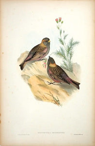 Brown-naped Mountain Finch