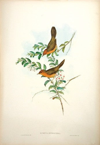 Buff-throated Dumetia