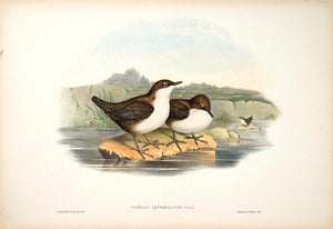 White-bellied Water Ouzel