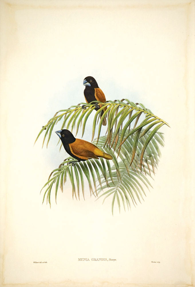 Large rufous-and-black Finch