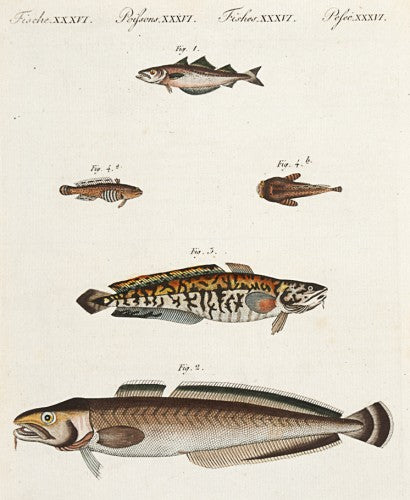 Pollack, Ling, Burbot and Toad Fish