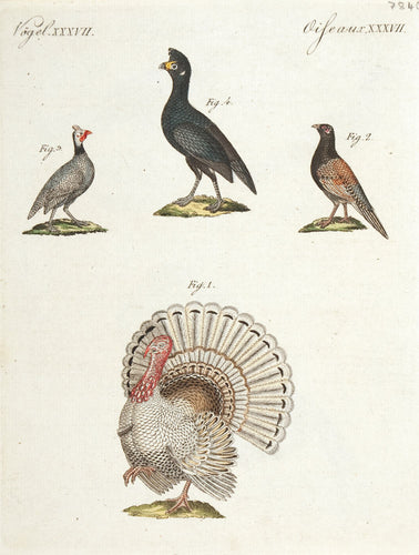 Pheasant; Turkey
