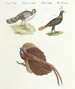 Peacocks; Asian pheasant