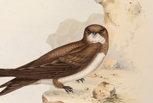 Swift and  White-bellied Swift
