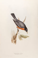 Load image into Gallery viewer, Migratory Ouzel