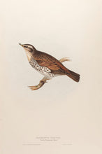 Load image into Gallery viewer, Naumann's Thrush