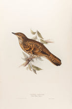 Load image into Gallery viewer, White's Thrush