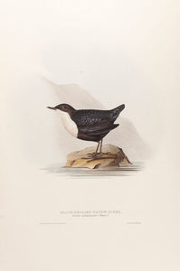 Black-bellied Water Ouzel