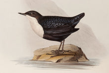 Load image into Gallery viewer, Black-bellied Water Ouzel