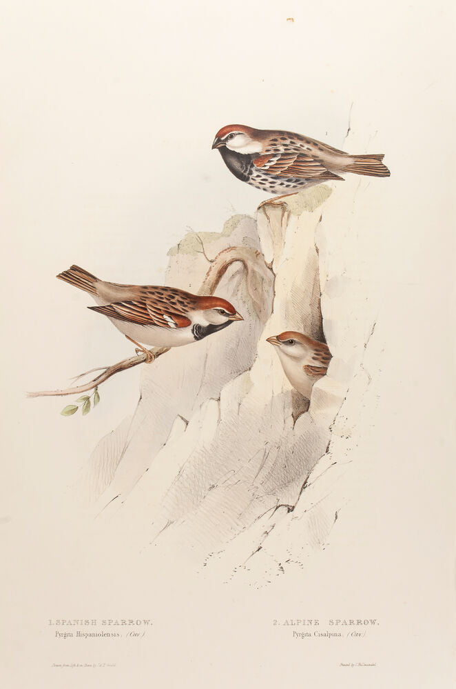 Spanish Sparrow and Alpine Sparrow
