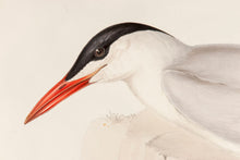 Load image into Gallery viewer, Caspian Tern