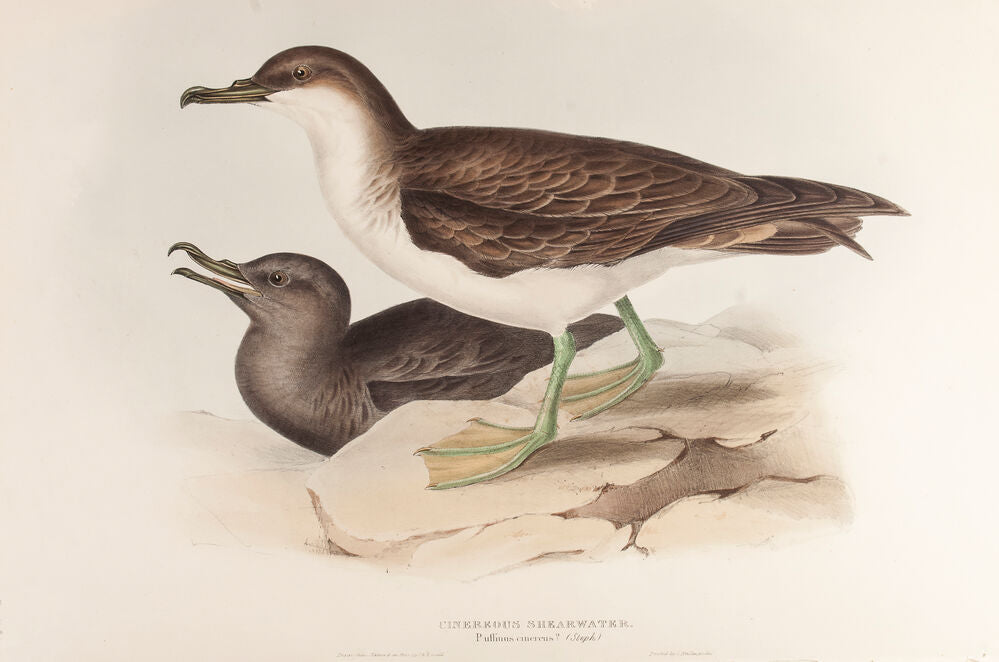 Cinereous Shearwater