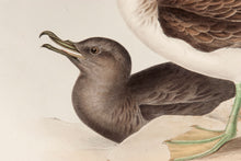 Load image into Gallery viewer, Cinereous Shearwater