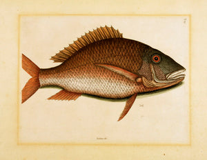 Pl T25, The Mutton Fish