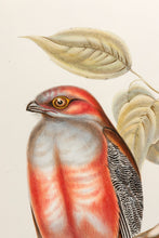 Load image into Gallery viewer, Hodgson's Trogon