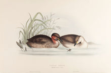 Load image into Gallery viewer, Little Grebe, or Dabchick