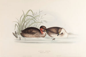 Little Grebe, or Dabchick