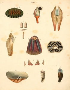 Chiton squamosus and other shells