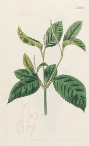 One-spiked Chloranthus or Chu-Lan
