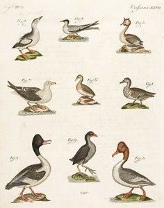 Ducks and Gulls