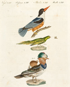 Pl LXIV: Kingfisher, parrot and Eider Duck