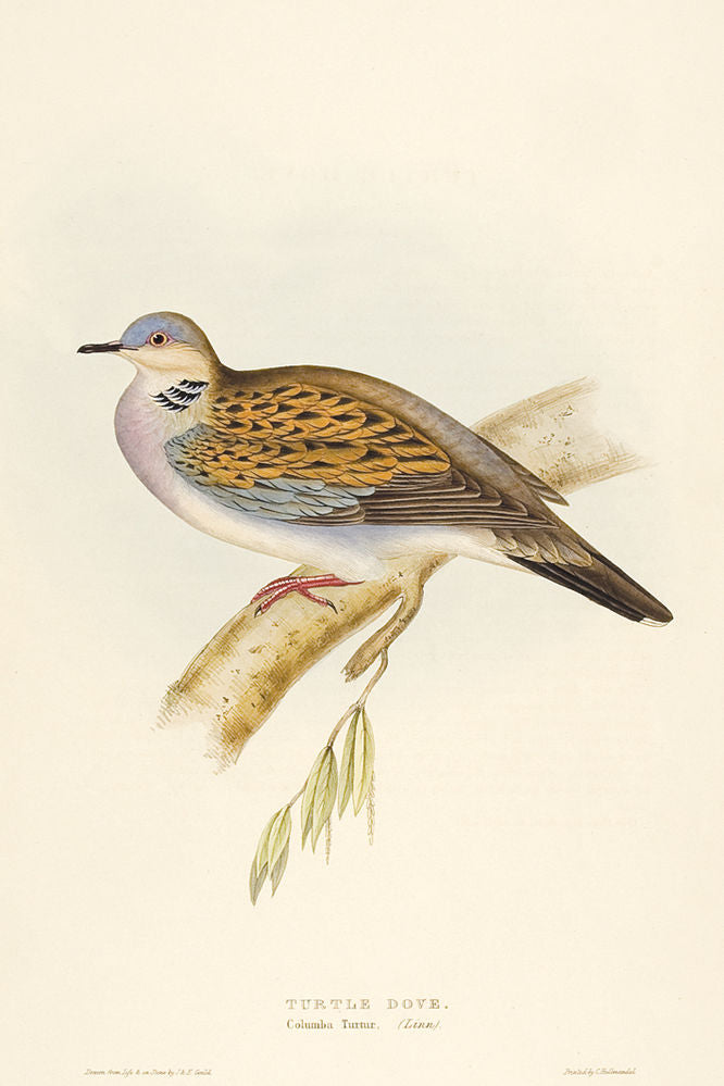 Turtle Dove. [Columba turtur