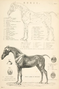 Horse - muscles and bones