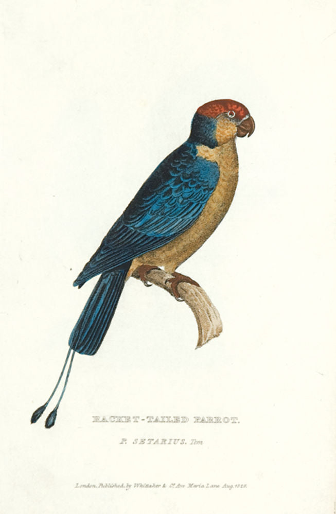 Racket-tailed Parrot