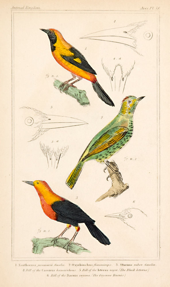 Oriole; Unknown bird; Starling