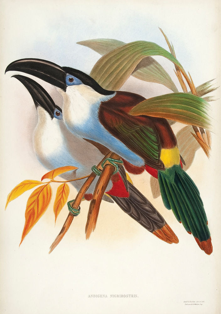 Black-billed Hill Toucan [Black-billed Mountain Toucan