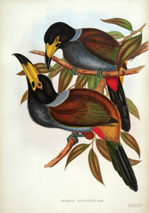 Hooded Hill Toucan [Hooded Mountain-toucan