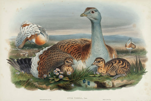 Great Bustard. (Otis tarda