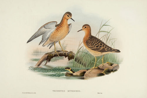 Buff-breasted Sandpiper. (Tryngites rufescens