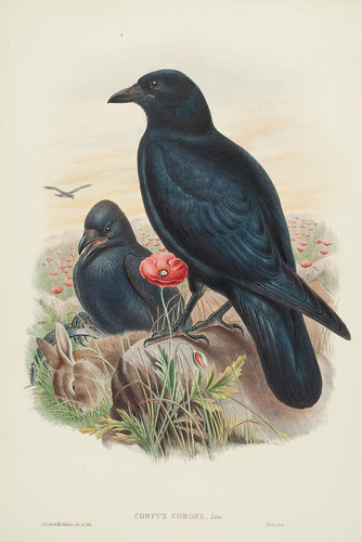 Carrion Crow (corvus corone