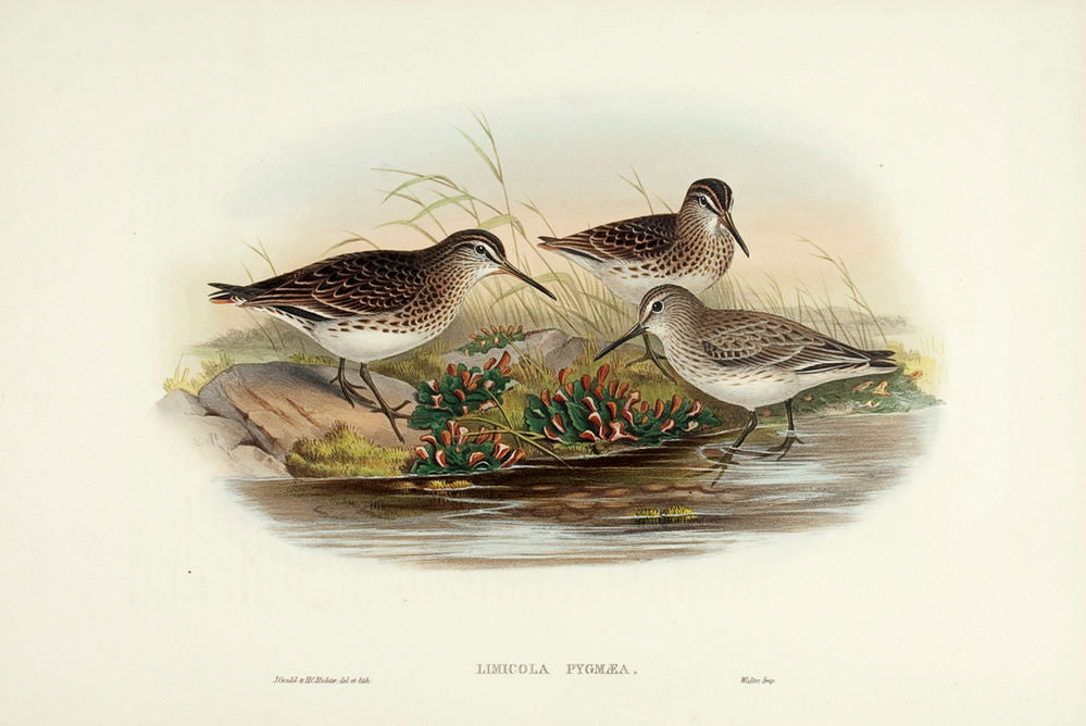 Broad-billed Sandpiper. (Limicola pygmaea