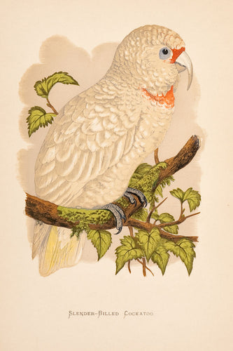 Slender-Billed Cockatoo