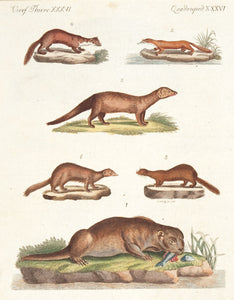 Species of Otters and Martens. (Quadrupedes. XXXVI