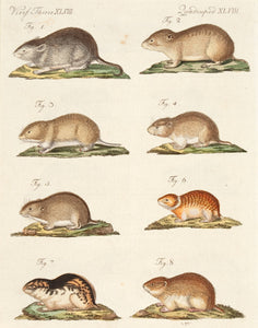 Different Species of Mice. (XLVIII
