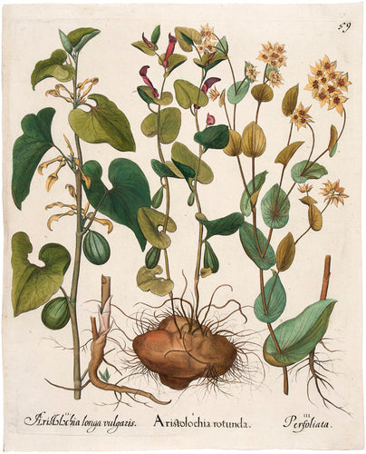 Aristolochia Rotunda