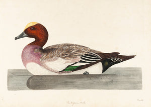 The Widgeon Male