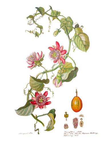 Flowers of the Brazilian Forests Collected and Painted by Margaret Mee