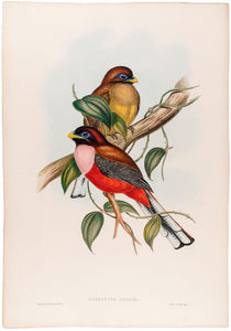 Rosy-breasted Trogon. [Harpactes Ardens