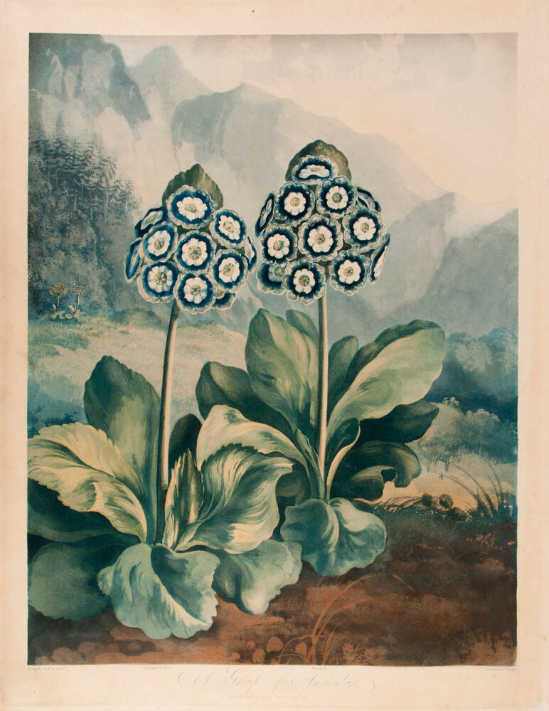 A Group of Auriculas. (Two auriculas only