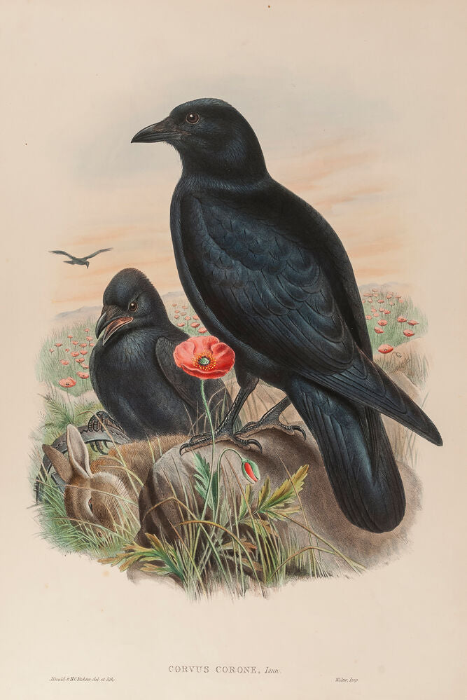 Carrion Crow. (Corvus Corone