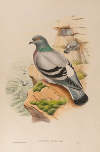 Rock Pigeon. (Columba Livia