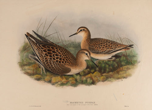 Ruff and Reeve in the plumage of the first Autumn. (Machetes