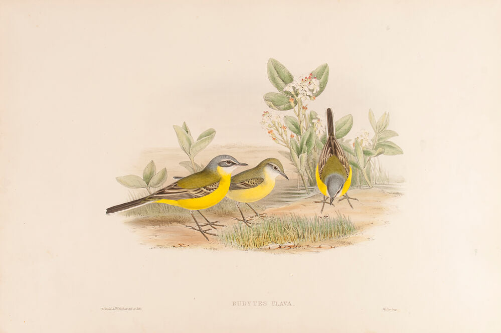 Grey-headed Wagtail. (Budytes Flava